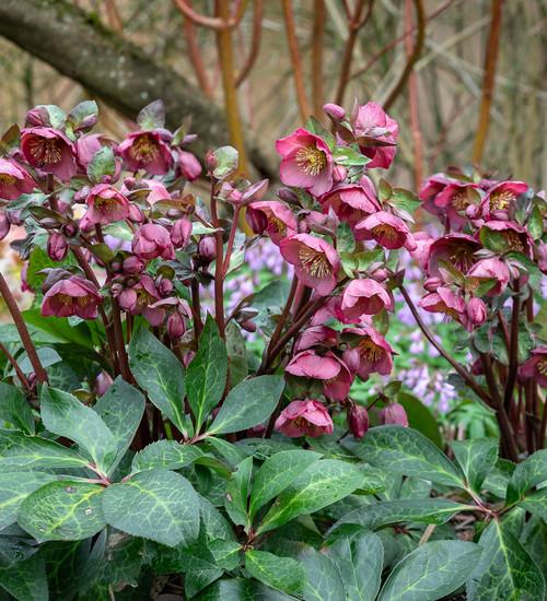 Helleborus 'Penny's Pink' (Rodney Davey Marbled Group)