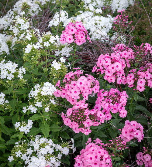 Fragrant Phlox Collection