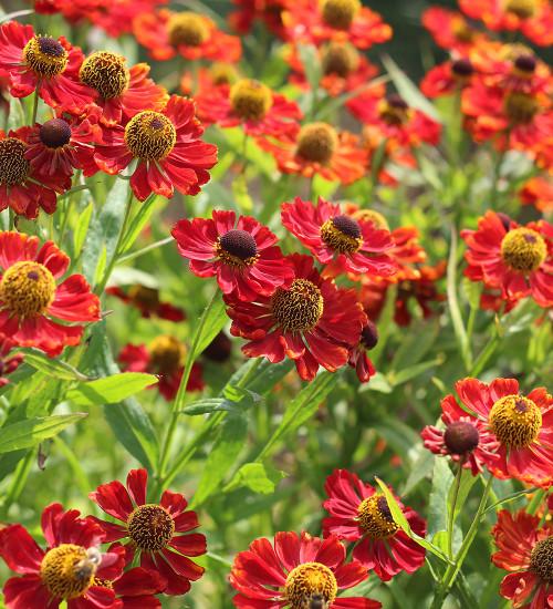 Helenium 'Ruby Tuesday'