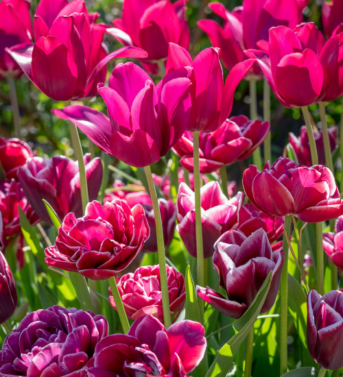 Iced Gem Tulip Collection