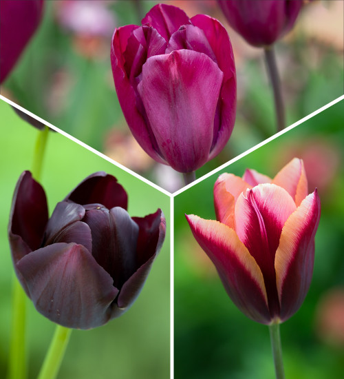 Kir Royale Tulip Collection