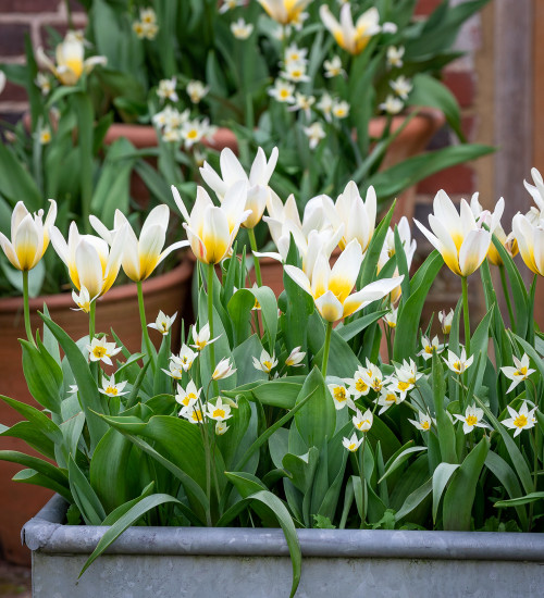 Long-flowering Successional White Garden Tulip Collection