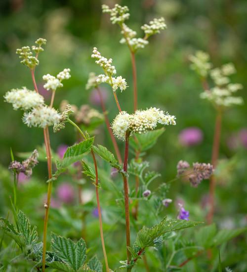 绣线菊属植物(Filipendula ulmaria)