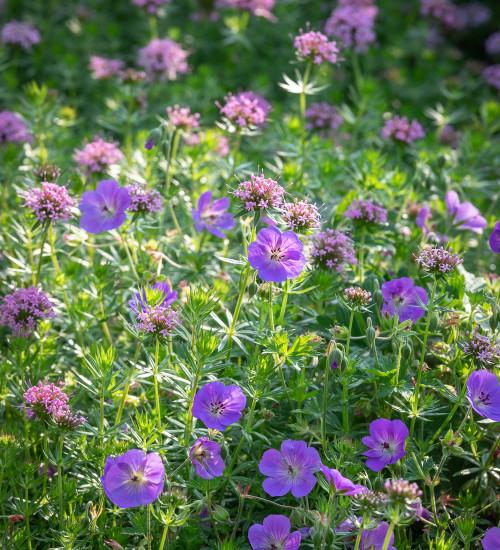 Perennial Purple Carpet Collection