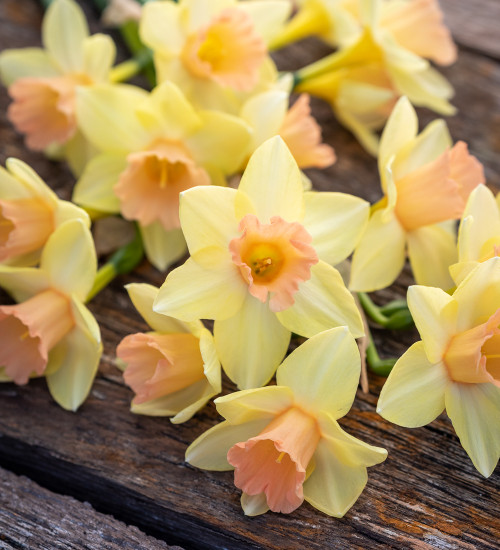 Narcissus 'Blushing Lady'