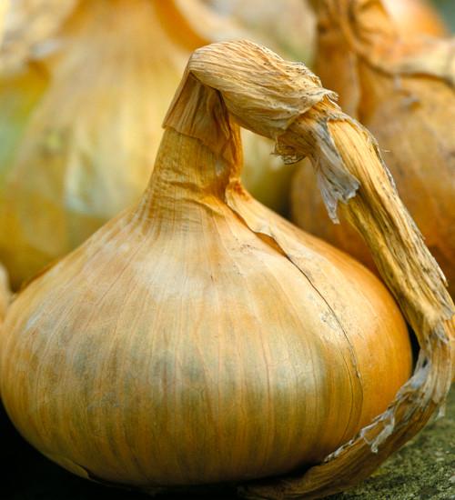 Onion 'Senshyu Yellow'