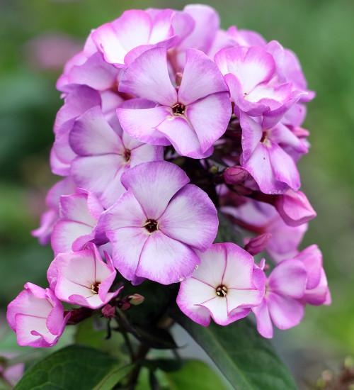 Phlox paniculata 'Sweet Summer Fantasy Purple Bicolor'