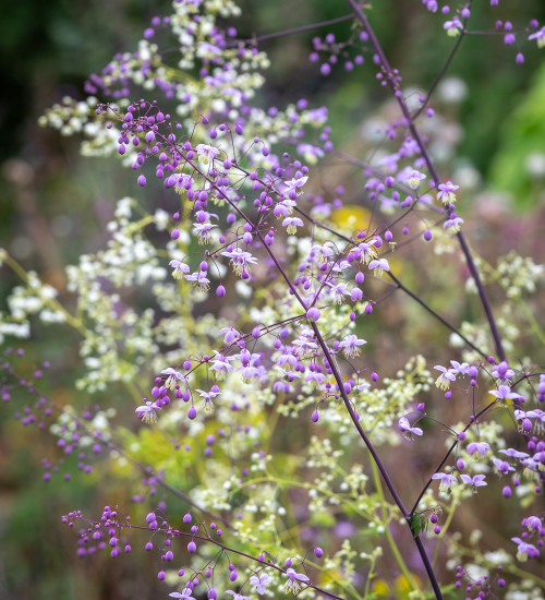 Thalictrum Collection