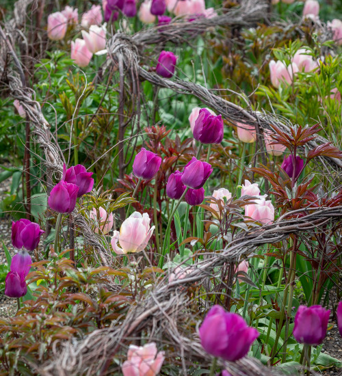 The Non-Stop Tulip Collection