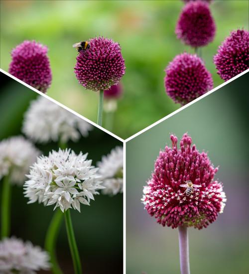 Miniature Jewels Allium Collection