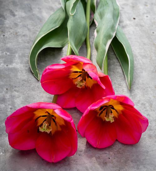 Tulip 'Aphrodite'
