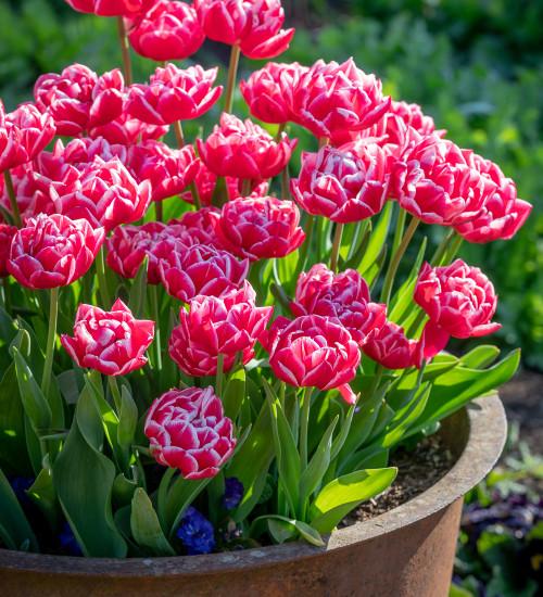 Tulip 'Columbus'