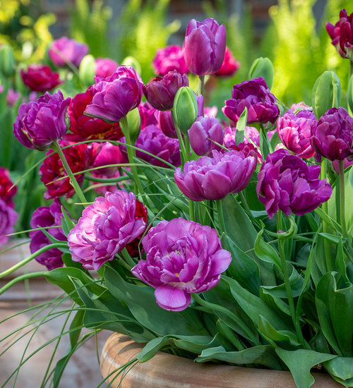 Suffragette Tulip Collection