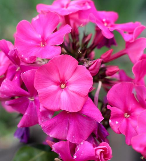 Phlox paniculata 'Sweet Summer Red'