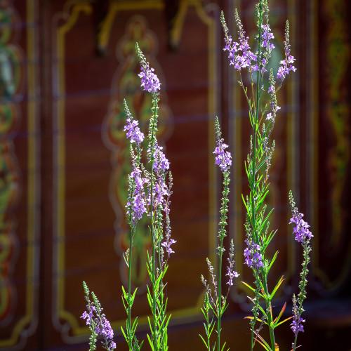 Purple Toadflax (Linaria purpurea)