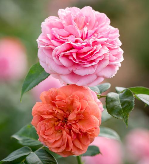 Rosa 'Duchess of Cornwall' (Hybrid Tea)