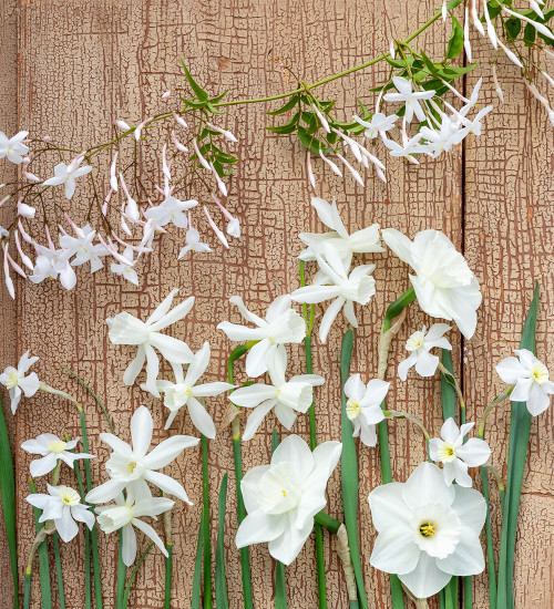 Scented White Narcissus Collection