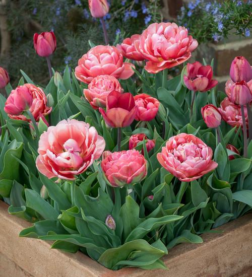 Small Garden Tulip Collection