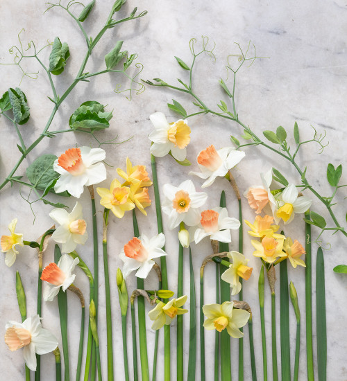Softly Scented Narcissus Collection