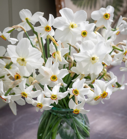 Pheasant's Eye Narcissus Collection