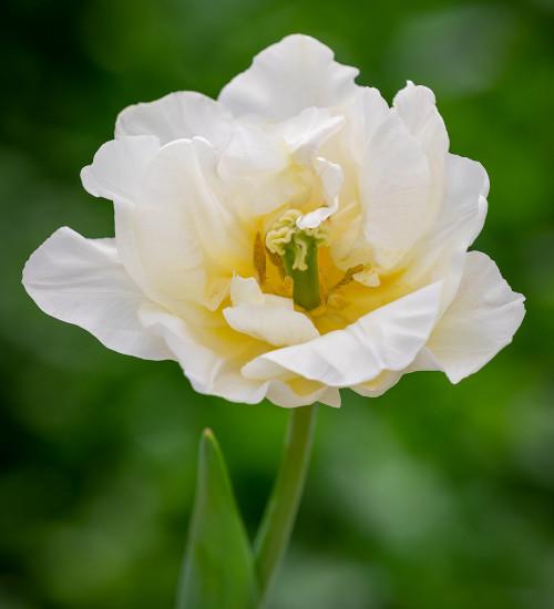 Tulip 'Silk Road'