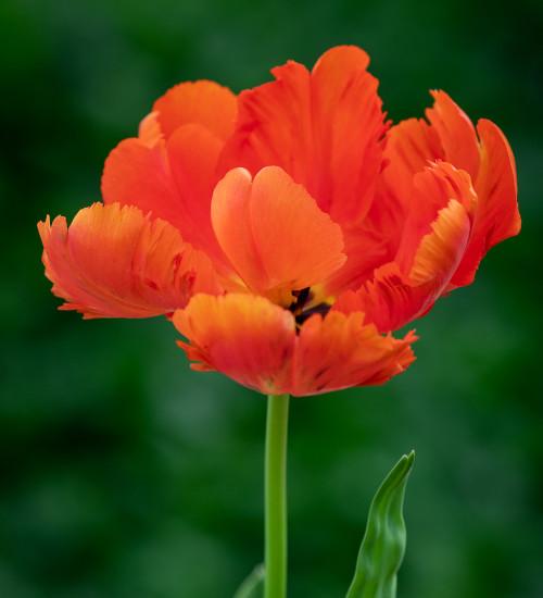 Tulip 'Flower Power'