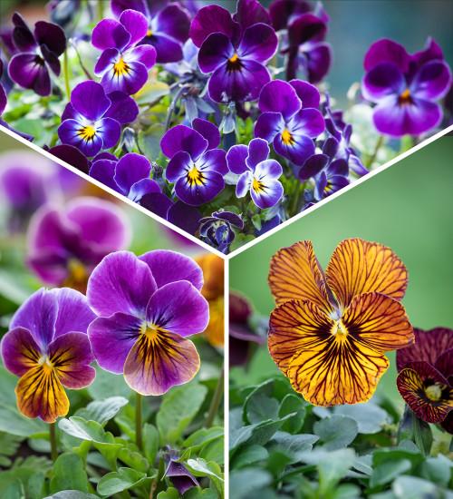 Sarah Raven Favourite Viola Collection
