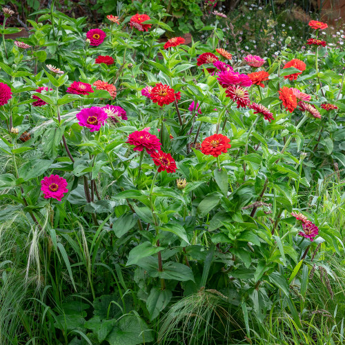 Zinnia Meadow Collection