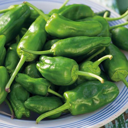 Pepper 'Padron'