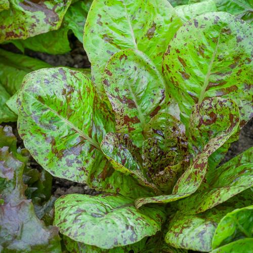 Lettuce 'Freckles'