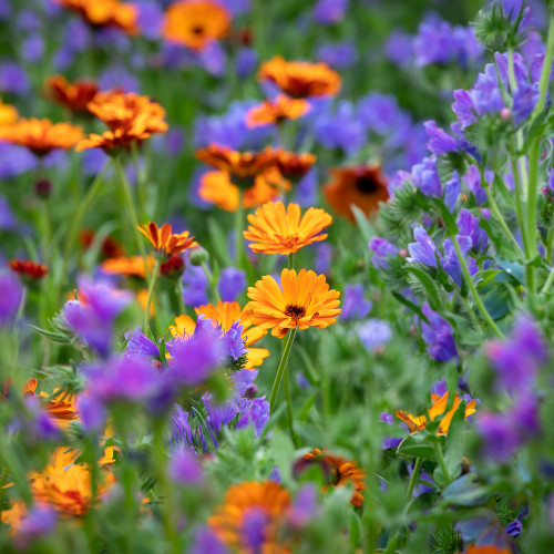Self-seeding Cut Flower Collection
