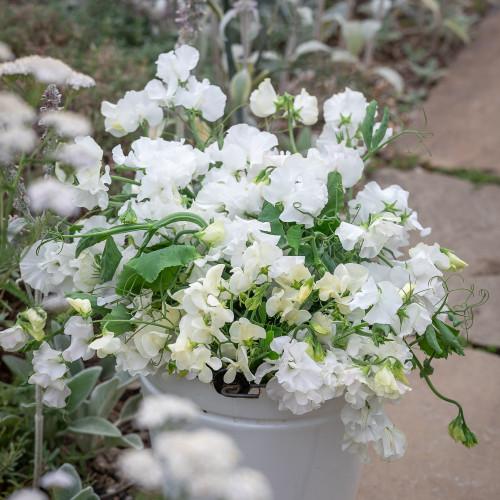 White Garden Sweet Pea Mix