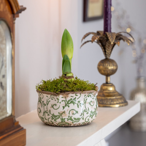 Potted Amaryllis in a Wavy Edged Ceramic Bowl
