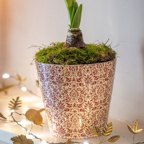 Potted Amaryllis in a Floral Pot