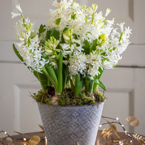 Potted Hyacinths in an Embossed Zinc Pot