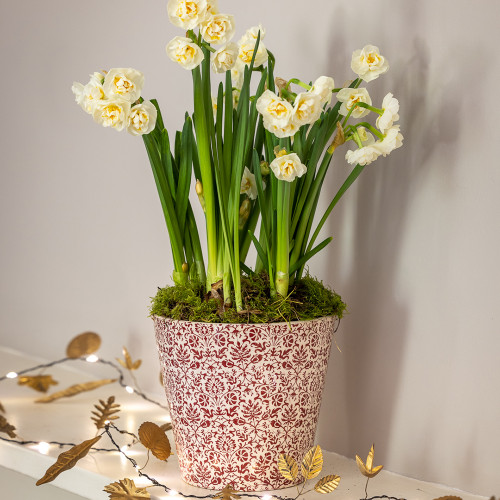 Double Paperwhite 'Erlicheer' in a Floral Pot
