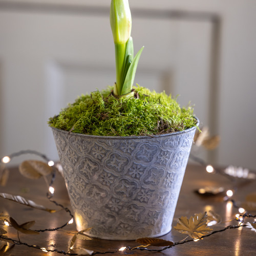 Potted Amaryllis in an Embossed Zinc Pot
