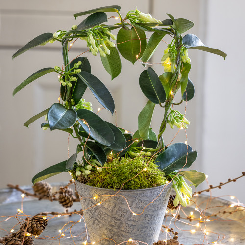 Potted Stephanotis in an Embossed Zinc Pot