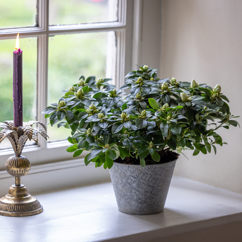 Potted Azalea in an Embossed Zinc Pot