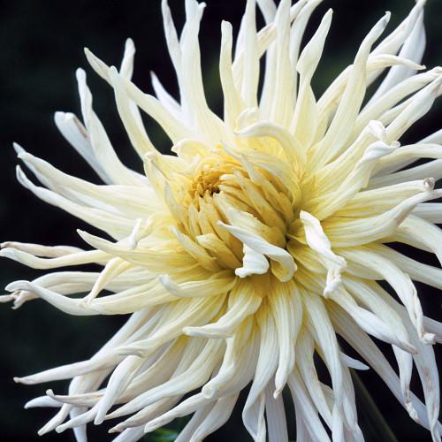 Dahlia 'White Star'