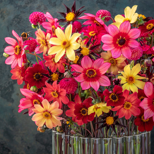Butterfly Dahlia Collection