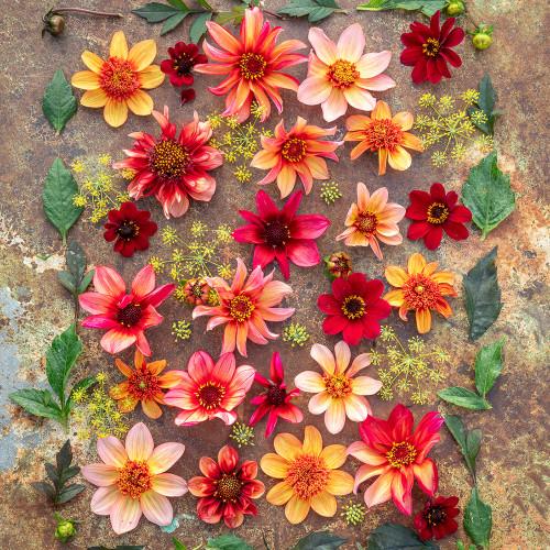 Persian Carpet Dahlia Collection