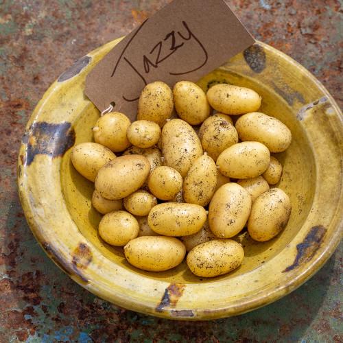 Potato 'Jazzy'