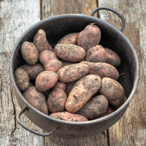Potato 'Sarpo Axona'
