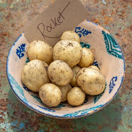 Potato 'Rocket'