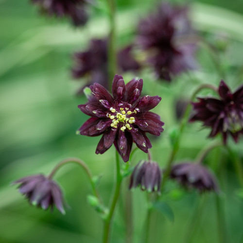Aquilegia vulgaris var. stellata 'Black Barlow'