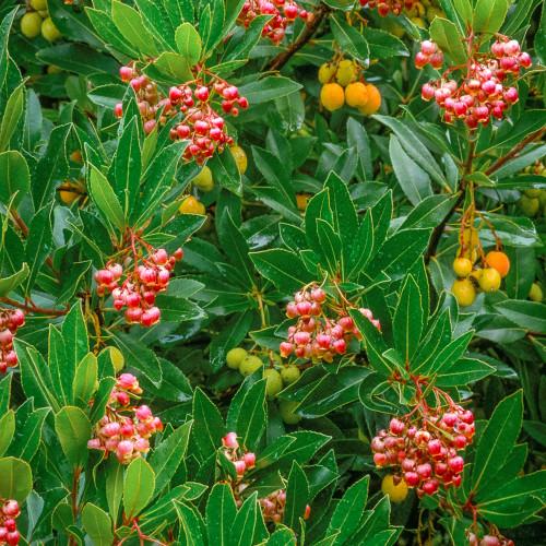 Arbutus unedo 'Roselily'