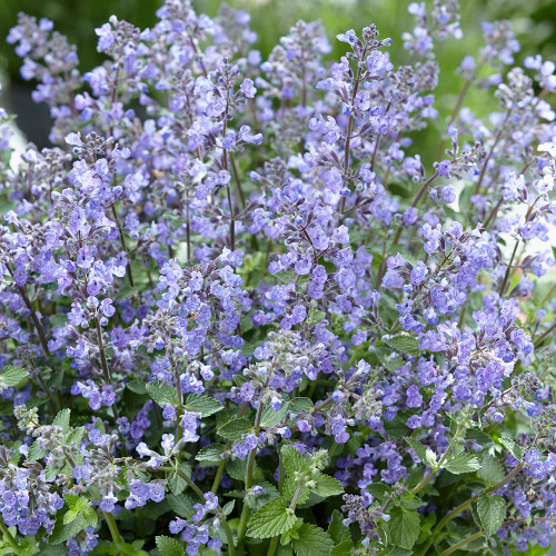 Nepeta faassenii 'Purrsian Blue'