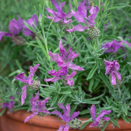 Lavandula stoechas 'Javelin Forte Purple'