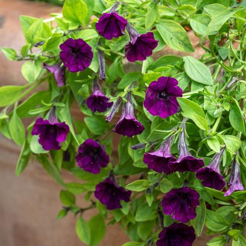 Petunia 'Littletunia Purple Blue'